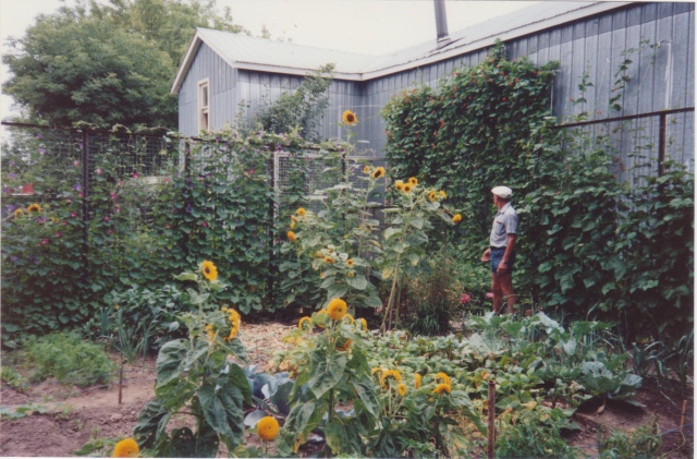 opa's garden beans and sunflowers